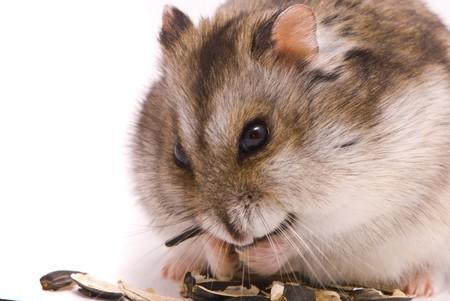 dwarf hamster: Dwarf hamster eating sunflower seed