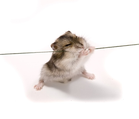 little dwarf hamster Stock Photo - 8299827