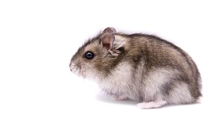 dwarf hamster: little dwarf hamster