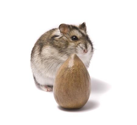dwarf hamster: little dwarf hamster and nut  Stock Photo