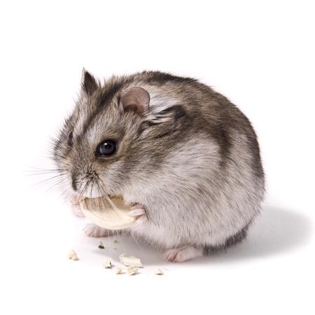 dwarf hamster: little dwarf hamster eating pumpkin seed