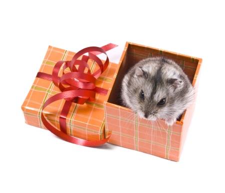 little dwarf hamster in present box photo