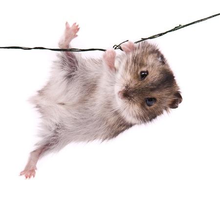 Kleine dwerg hamster op een koord
