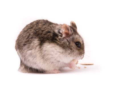 dwarf hamster: Dwarf hamster eating pumpkin seed Stock Photo