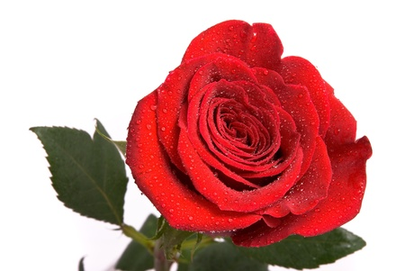 Red rose with water drops on a studio white background.  photo