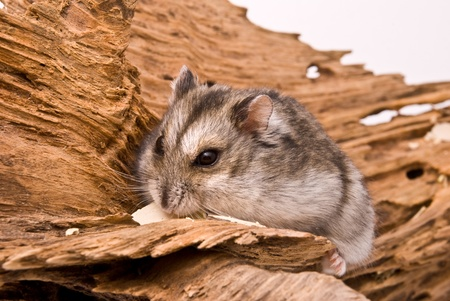 The small hamster eat a seed.  photo