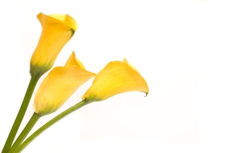 Yellow callas on a white photo