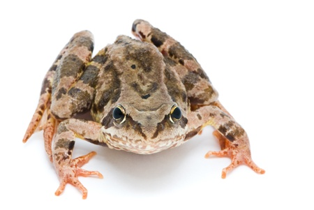 Rana temporaria. Grass frog on white background. photo