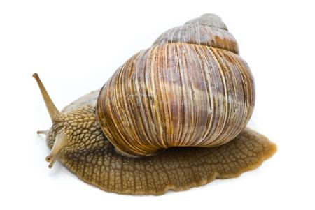 land shell: Helix pomatia. Big Roman snail on a white background. Stock Photo