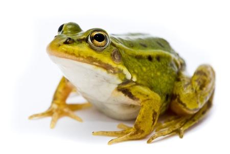 rana: Rana esculenta. Rana verde (Europea o agua) sobre fondo blanco.