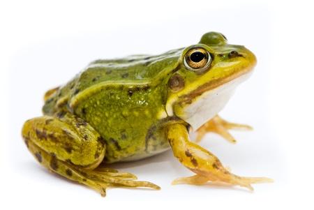 лягушка: Рана прудовой. Зеленые (европейская или воды) Лягушка на белом фоне. Фото со стока