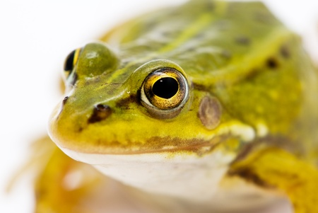 Rana esculenta. Green (European or water) frog on white background. Stock Photo - 10011485