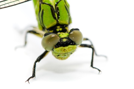 pondhawk: Ophiogomphus cecilia. Green Snaketail dragonfly on a white background.