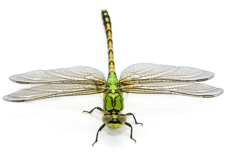 dragonfly wing: Ophiogomphus cecilia. Green Snaketail dragonfly on a white background.
