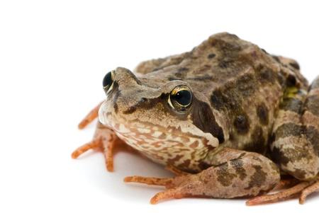 Rana temporaria. Grass frog on white background. Stock Photo - 10553092