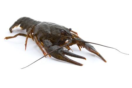 clawed: Astacus leptodactylus. Narrow-clawed crayfish on white background.