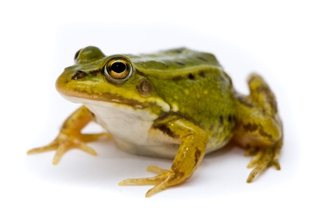 Rana esculenta. Green (European or water) frog on white background. Stock Photo - 10553078