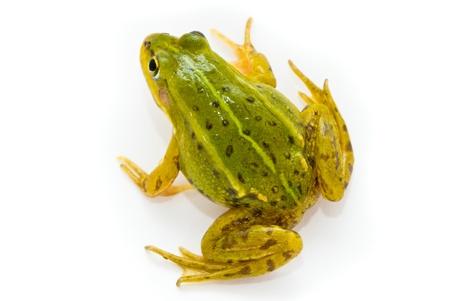 Rana esculenta. Green (European or water) frog on white background. Stock Photo - 10553090