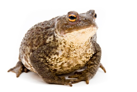 Bufo bufo. Common (European) toad on white background. Stock Photo