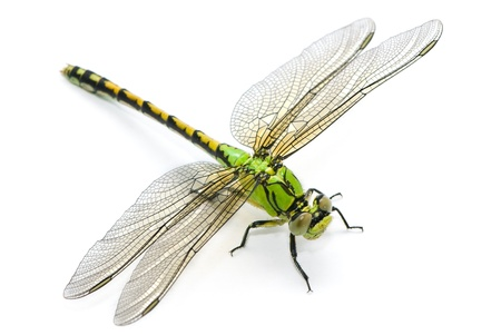 dragon fly: Ophiogomphus cecilia. Green Snaketail dragonfly on a white background.