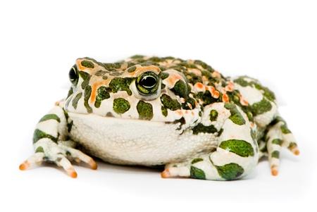 viridis: Bufo viridis. Green toad on white background.