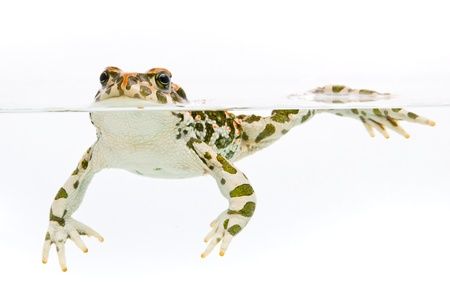 Bufo viridis. Green toad swimming in water on white background.