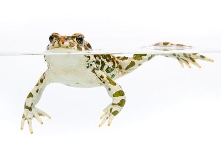 viridis: Bufo viridis. Green toad swimming in water on white background.