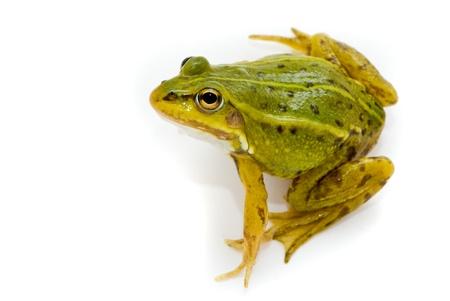 Rana esculenta. Green (European or water) frog on white background. Stock Photo - 10901958