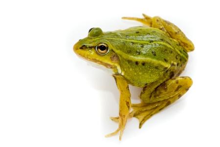 Rana esculenta. Green (European or water) frog on white background. Stock Photo - 10901958