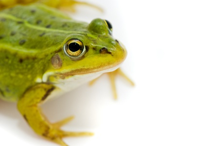 Rana esculenta. Green (European or water) frog on white background. Stock Photo - 10901961