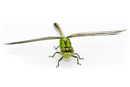 damselfly: Ophiogomphus cecilia. Green Snaketail dragonfly on a white background.