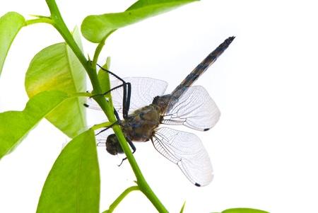 skimmer: Orthetrum cancellatum. Male Black-tailed Skimmer dragonfly on white background.