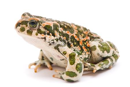 bufo bufo: Bufo viridis. Green toad on white background.