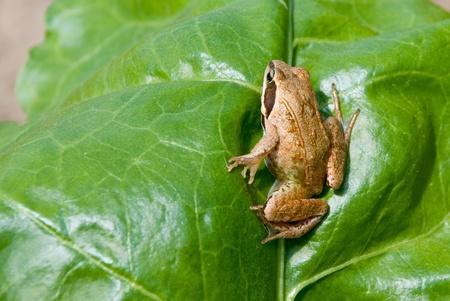 rana arvalis: Rana arvalis. Moor frog on nature background.
