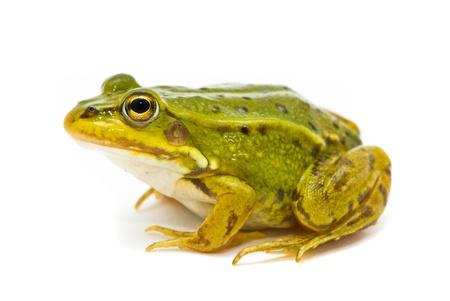 Rana esculenta. Green (European or water) frog on white background. photo