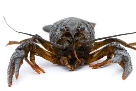 Astacus leptodactylus. Narrow-clawed crayfish on white background. photo