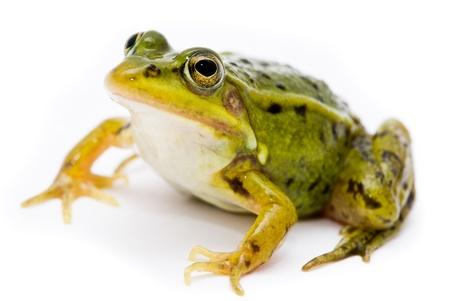 sapo: Rana esculenta. Verde (europeo o el agua) la rana en el fondo blanco.