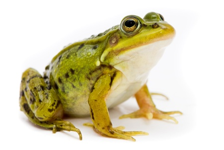 toad: Rana esculenta. Green (European or water) frog on white background.