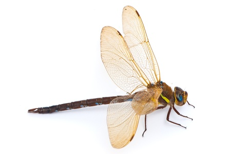 dragon fly: Aeshna cyanea. Southern Hawker dragonfly (Blue Darner) on white background Stock Photo