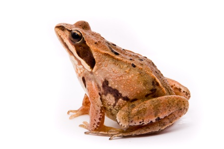 Rana arvalis. Moor frog on white background. Stock Photo