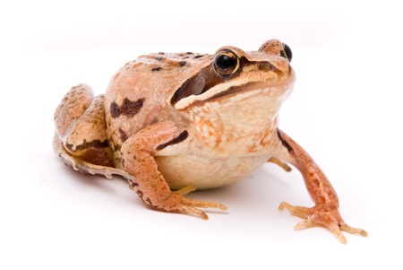 Rana arvalis. Moor frog on white background. Stock Photo - 11299395