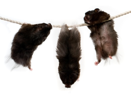 Three hamsters on a rope photo