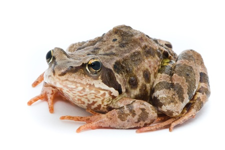 Rana temporaria. Grass frog on white background. photo