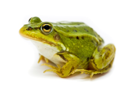 Rana esculenta. Green (European or water) frog on white background. Stock Photo - 11886258