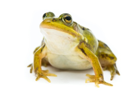 Rana esculenta. Green (European or water) frog on white background. Stock Photo - 11886251