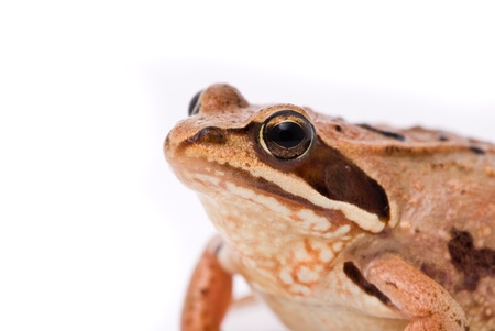 Rana arvalis. Moor frog on white background. Stock Photo - 11886254