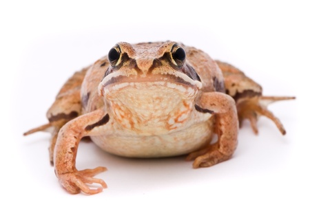 rana arvalis: Rana arvalis. Moor frog on white background. Stock Photo
