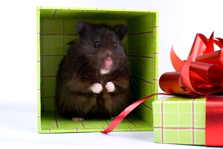 hair bow: Black Syrian Hamster as a gift in box on white background