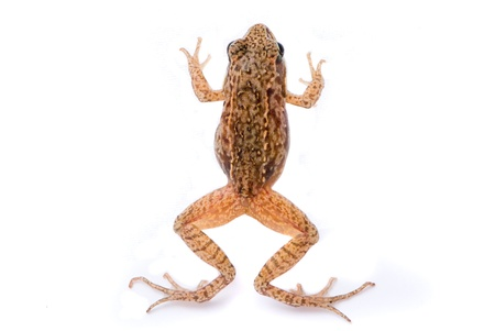 Rana temporaria. Small Grass frog on white background. photo