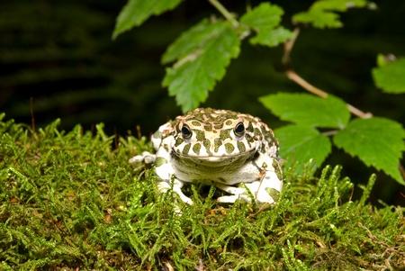 bufo bufo: Bufo viridis. Green toad on nature background. Stock Photo